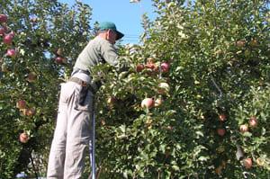 りんご 木 2